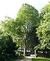 Paderborn - Platane am Haxthausenhof.jpg