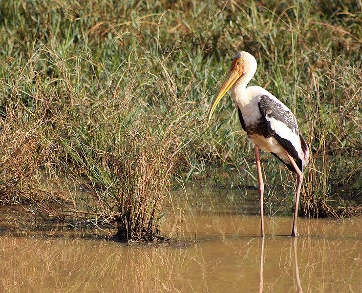 File:Painted stork, Uda Walawe NP, Sri Lanka 2.jpg