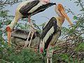 Painted stork nesting.jpg