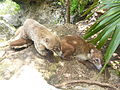 Pair of South American coatis.JPG
