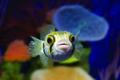 Palma Aquarium-Pez globo.tif