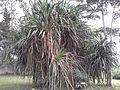 Pandanus Veitchii.jpg