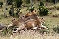 Panthera leo 2011-07-14 16-23-11 30D (14250427097).jpg