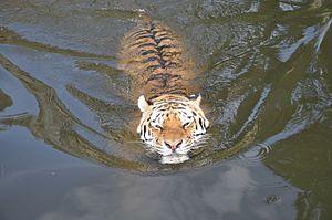 image of Panthera tigris altaica (27.08.2012)