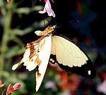 Papilio dardanus on flower (cropped).jpg
