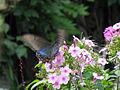 Papilio maackii, Hokkaidō, Japan 01.jpg