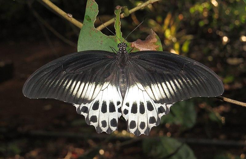 File:Papilio polymnestor – Blue Mormon 01.jpg
