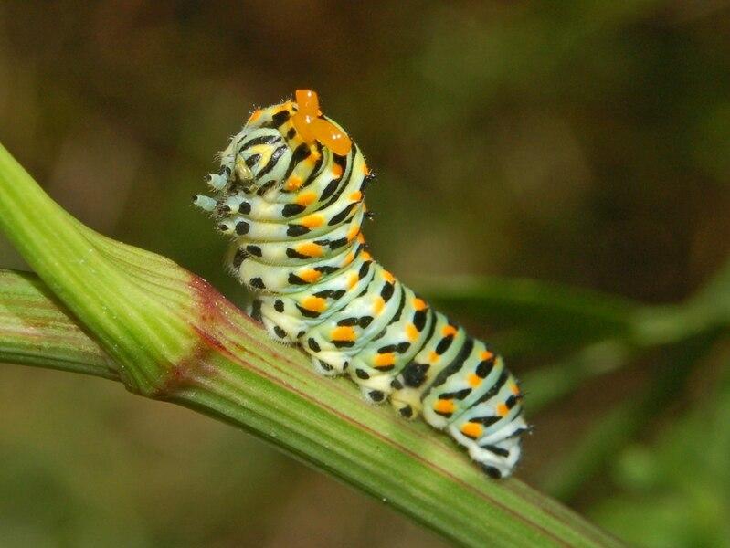 Papilionidae - Papilio machaon-2