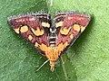 Papillon Pyrausta purpuralis observé à Saint-Maurice-de-Beynost dans l'Ain en juillet 2019 (4).jpg