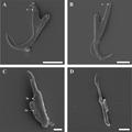Parasite170078-fig5 Cichlidogyrus philander (Monogenea, Ancyrocephalidae).png