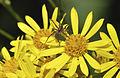 Pardosa amentata qtl2.jpg