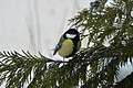 Parus major in a backyard in Botevgrad, Bulgaria.jpg
