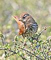 Passerella schistacea, Cerro Alto, San Luis Obispo 1.jpg