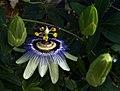 Passiflora (4655984563).jpg