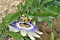 Passiflora caerulea Linnaeus, 1753.JPG