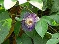 Passiflora incarnata (432688297).jpg