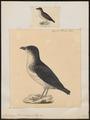 Pelecanoides berardi - 1700-1880 - Print - Iconographia Zoologica - Special Collections University of Amsterdam - UBA01 IZ17900005.tif