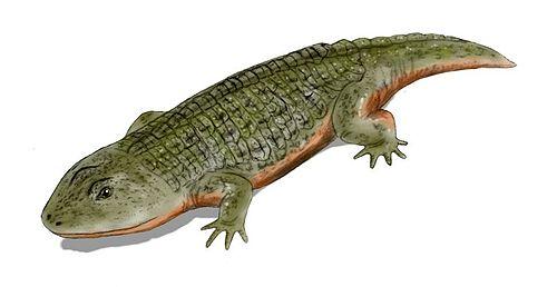 Peltobatrachus