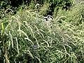 Pennisetum orientale 'Tall Tails' - J. C. Raulston Arboretum - DSC06215.JPG