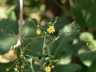 <i>Pentanema</i> genus of plants