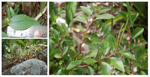 Tình yêu cây cỏ ĐV2 - Page 28 640px-Peperomia_Wheeleri_%285840502930%29