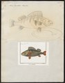 Perca fluviatilis - - Print - Iconographia Zoologica - Special Collections University of Amsterdam - UBA01 IZ12900065.tif