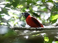 Periporphyrus erythromelas - Red-and-black Grosbeak.jpg