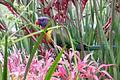 Perroquet dans les fleurs port de Sydney.JPG
