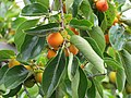 Persimmons - Carole Grogloth Molokai Hawaii - panoramio.jpg