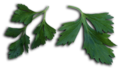 Petroselinum crispum leaves.png