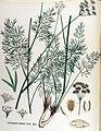 Peucedanum chabraei — Flora Batava — Volume v17.jpg