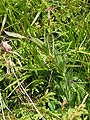 Pflanze Liuthalas 070209-7.JPG