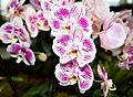 Phalaenopsis hybr. - Internationale Orchideen- und Tillandsienschau Blumengärten Hirschstetten 2016 b.jpg