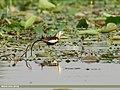 Pheasant-tailed Jacana (Hydrophasianus chirurgus) (28914160967).jpg