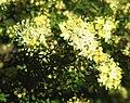 Phebalium bullatum.jpg