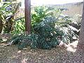 Philodendron bipinnatifidum Schott ex Endlicher - 2013 002.JPG