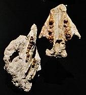 Phosphatherium - Wikipedia