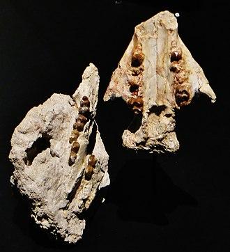 Phosphatherium - Jaw fragments