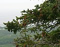 Picea glauca L'Acadien Nova Scotia.jpg
