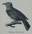 Picture Natural History - No 104 - The Roller.png