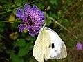 Pieridae 1.jpg
