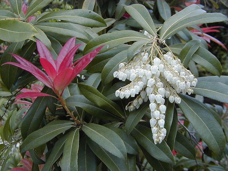 feuilles et fleurs du pieris