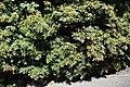 Pieris japonica 04.jpg