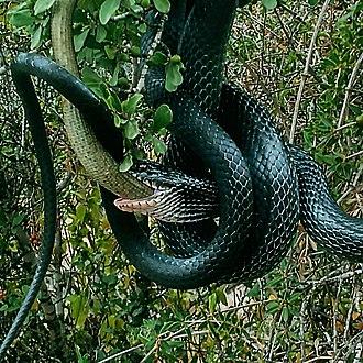 Colubridae - Dolichophis jugularis prey on Sheltopusik
