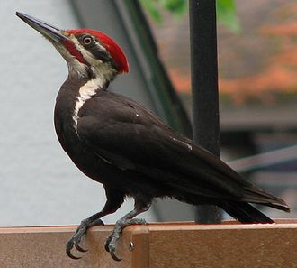 Pileated woodpecker - Image: Pileated at platform feeder