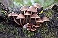Pilzfamilie auf dem Rochlitzer Berg - Geopark Porphyrland - Sachsen.jpg