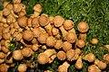 Pilzfruchtkörper im Wald südwestlich des Parkplatzes Irenkreuz, Landkreis Rhön-Grabfeld IV.jpg