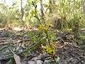 Pimelea curviflora (5285430886).jpg