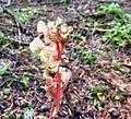 Pinesap flowering - Flickr - brewbooks.jpg