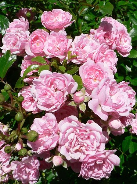File:Pink roses in the bush garden.jpg
